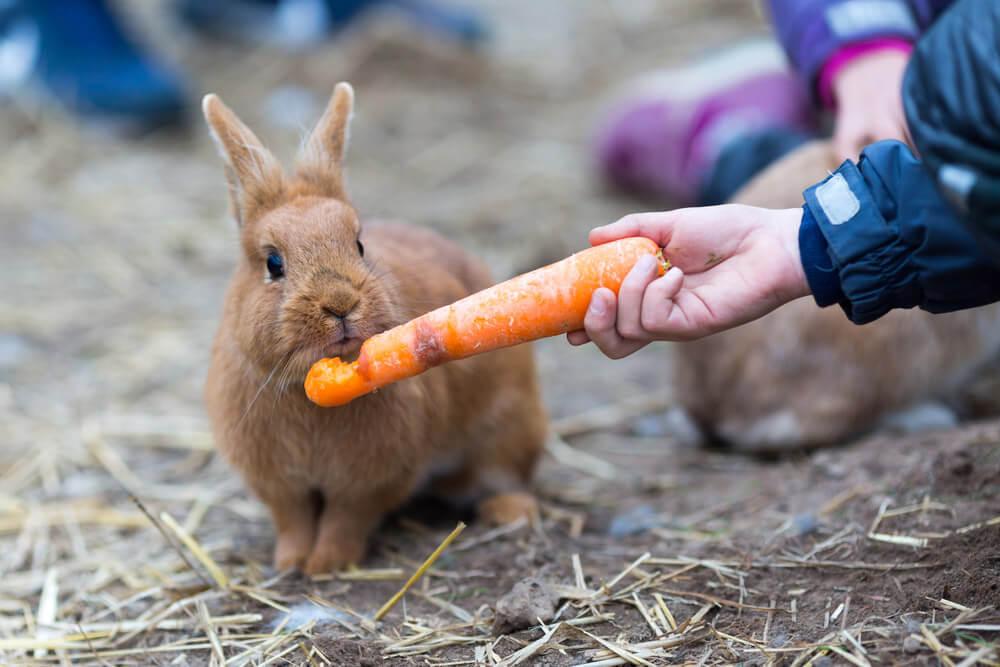 Conejo comiendo zanahoria