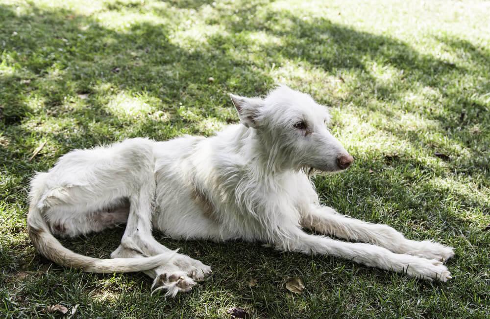 Efectos de la Leishmaniosis en perros