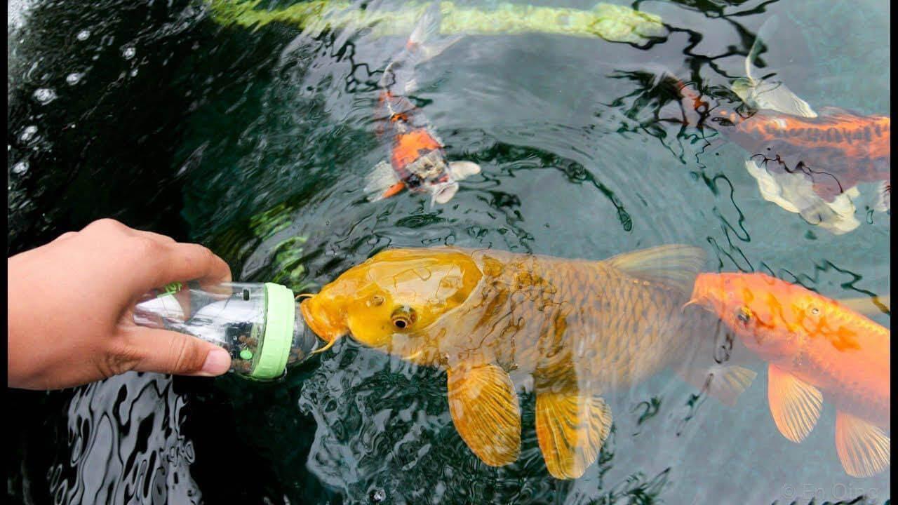 saber cómo alimentar a los peces